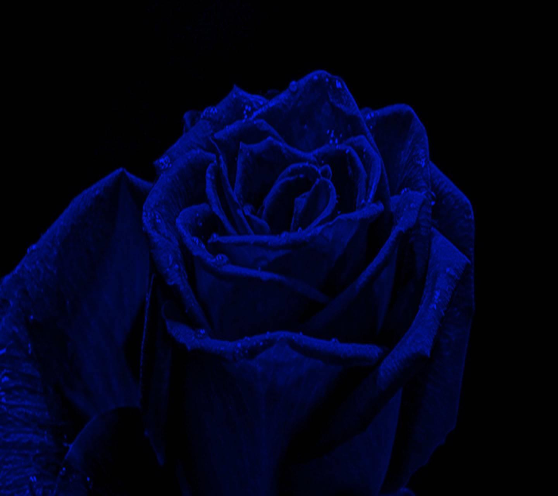 Deep Blue  Rose