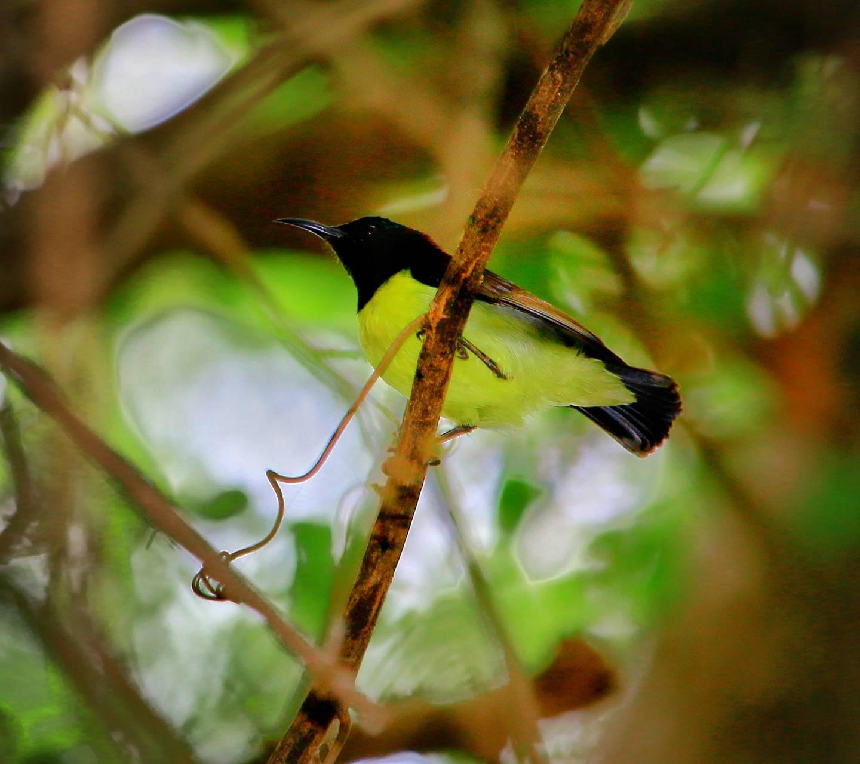 Yellow Birdy