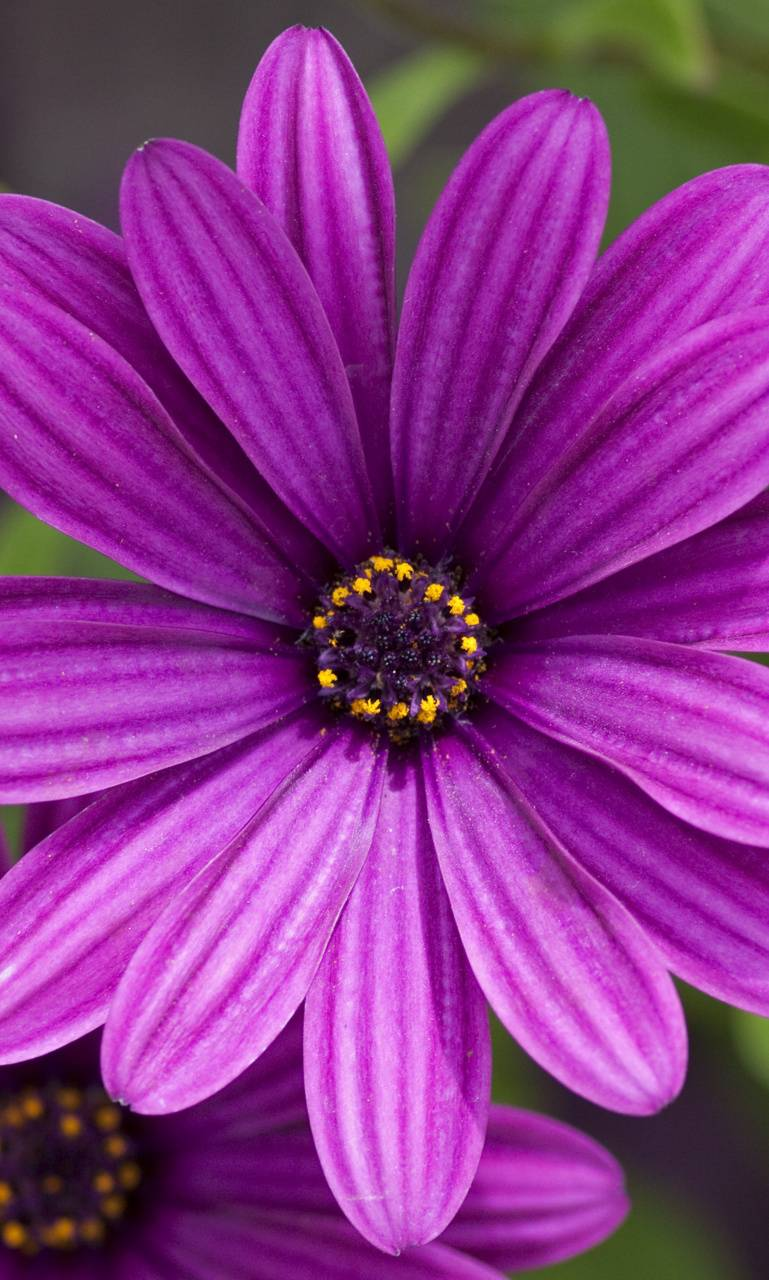 Purple Flower HD