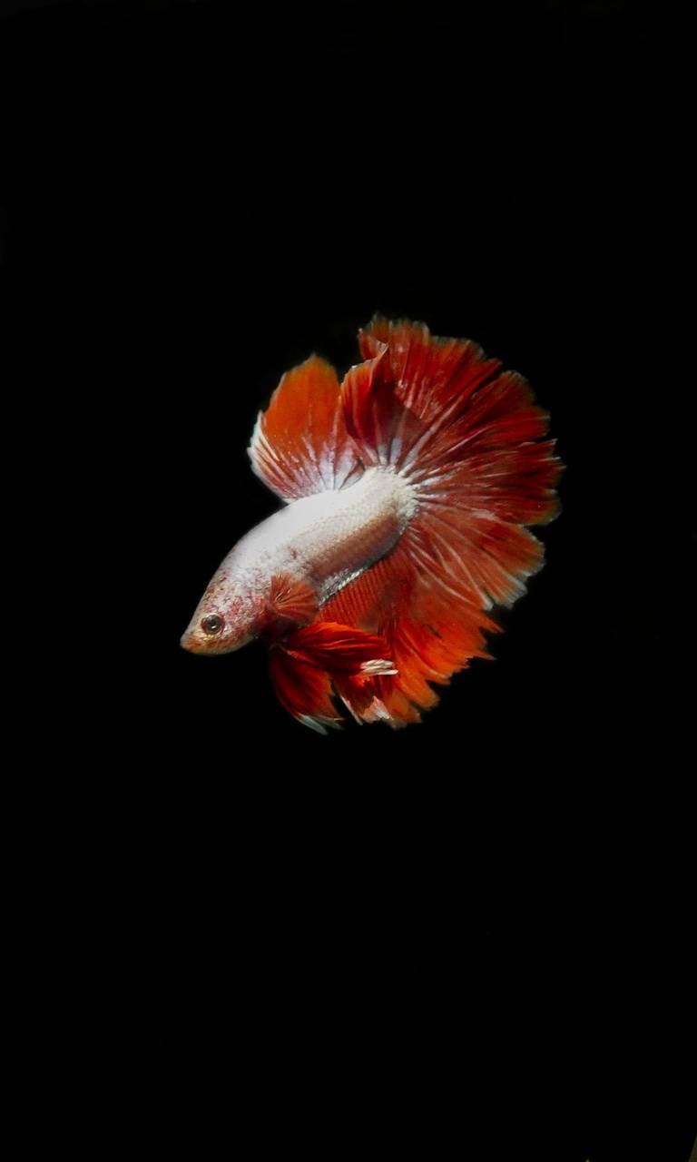 Red and white betta
