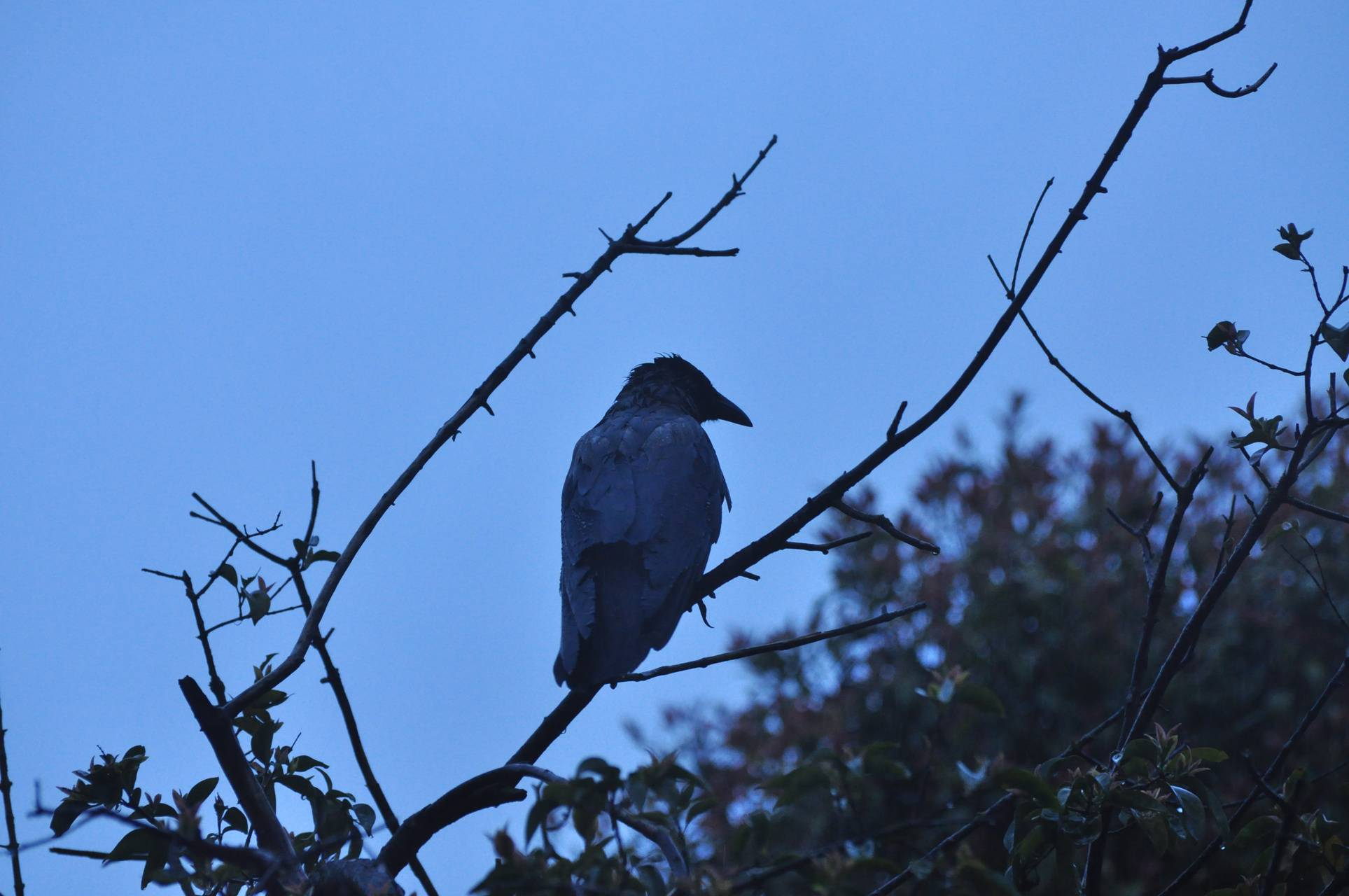Crow in park