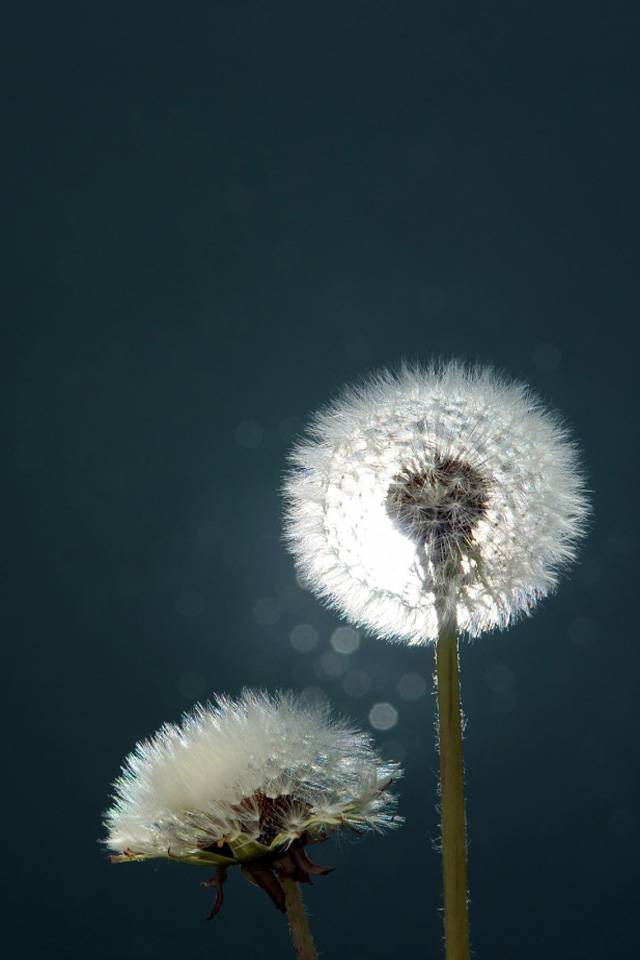 Awesome Dandelion