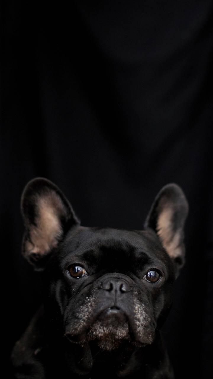 Black Little Dog