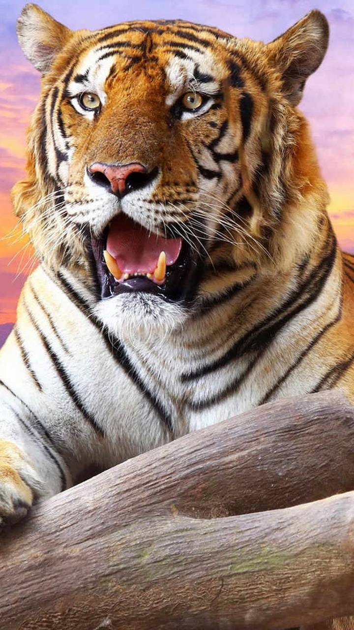 what a tiger