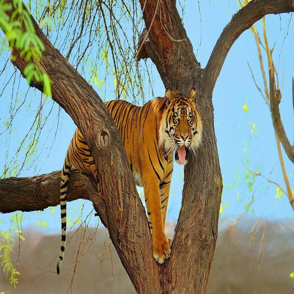 Tiger predator