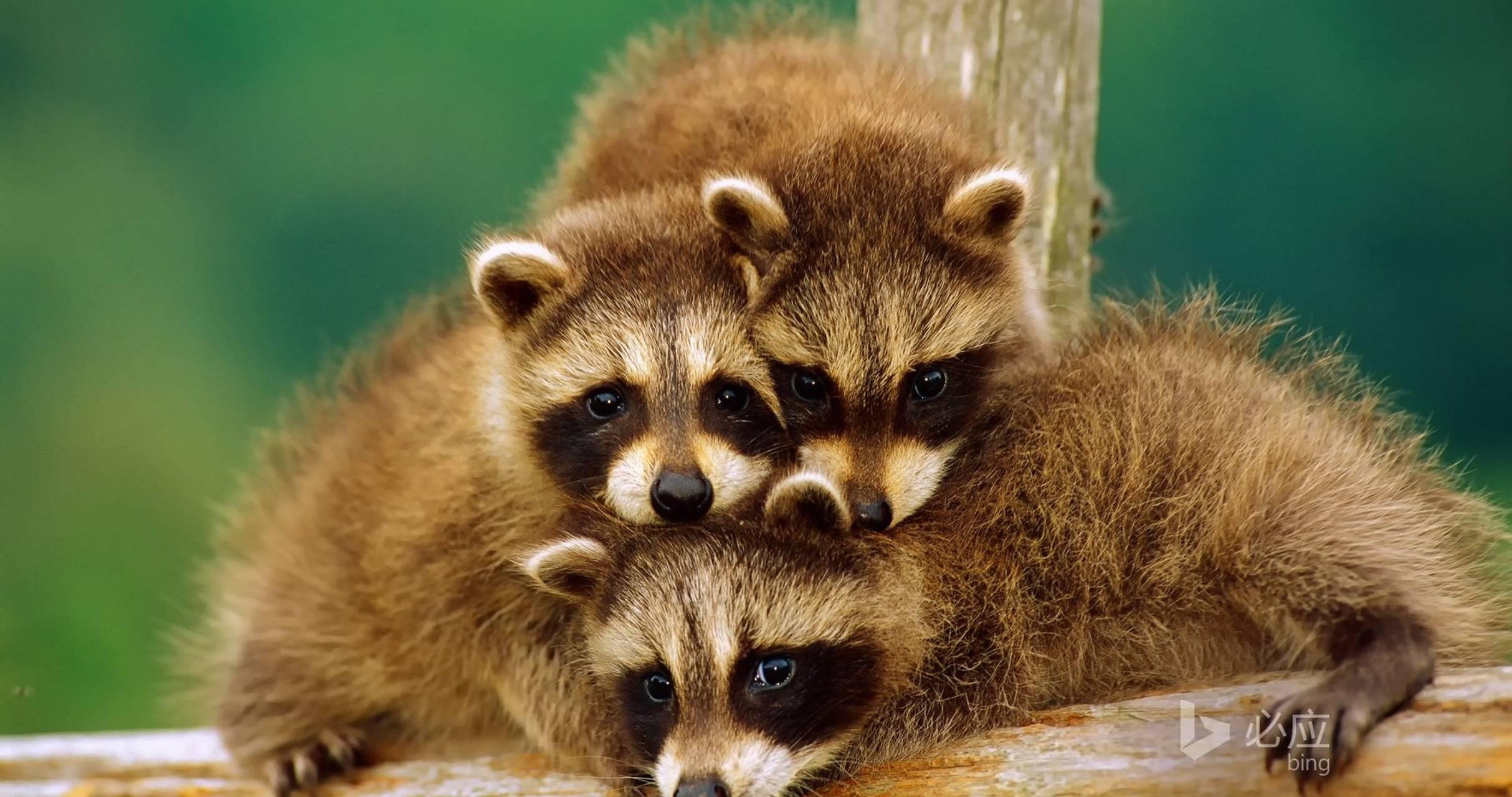 Raccoon Baby