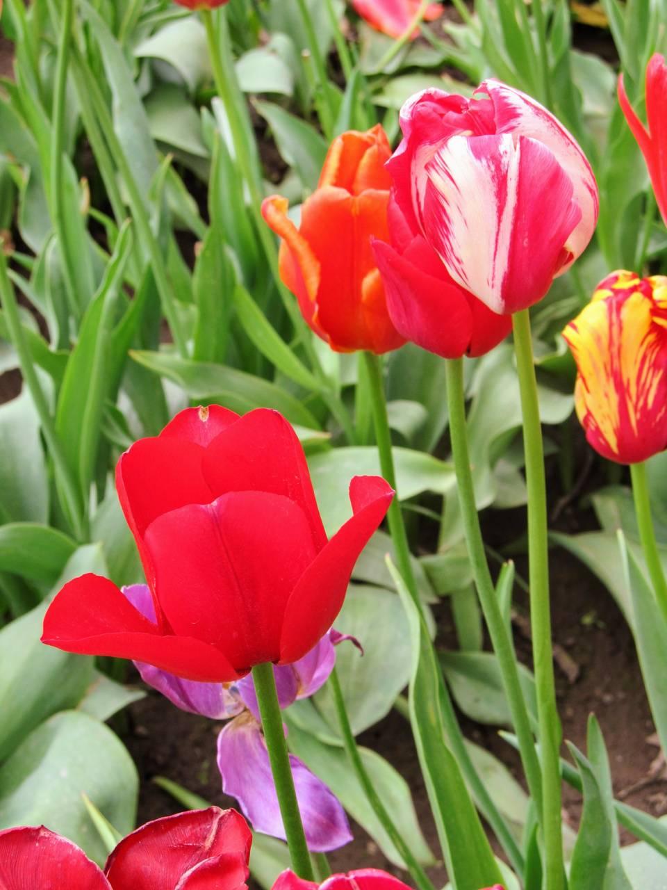 Varied Tulips 2