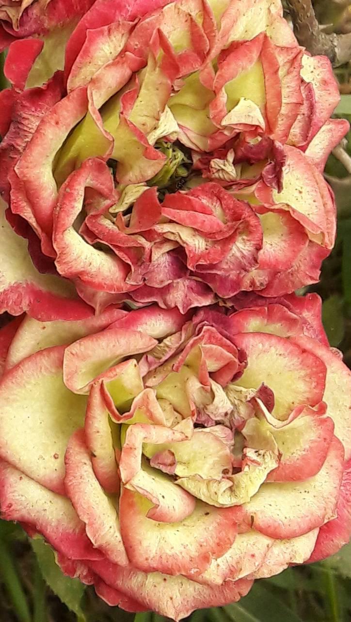 Carolina Roses