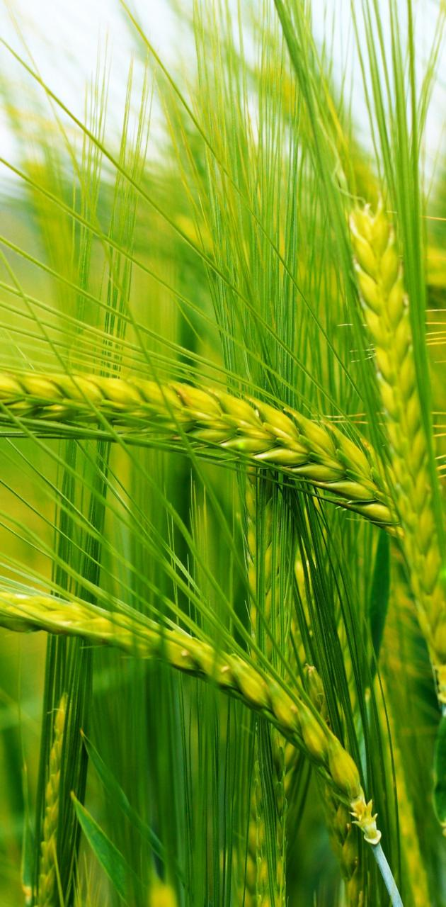 Ears of Corn Grass