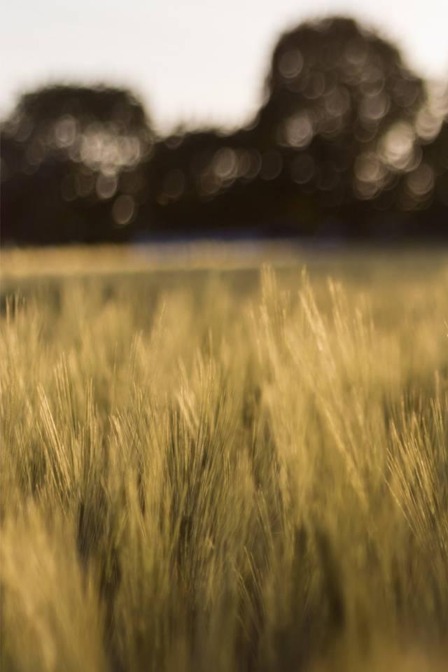 Wheatfield In Susine