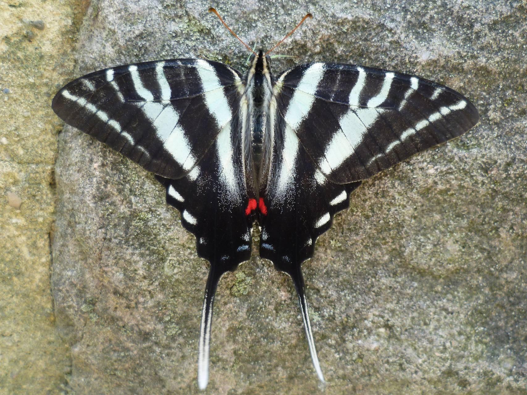 Zebra Swallowtail