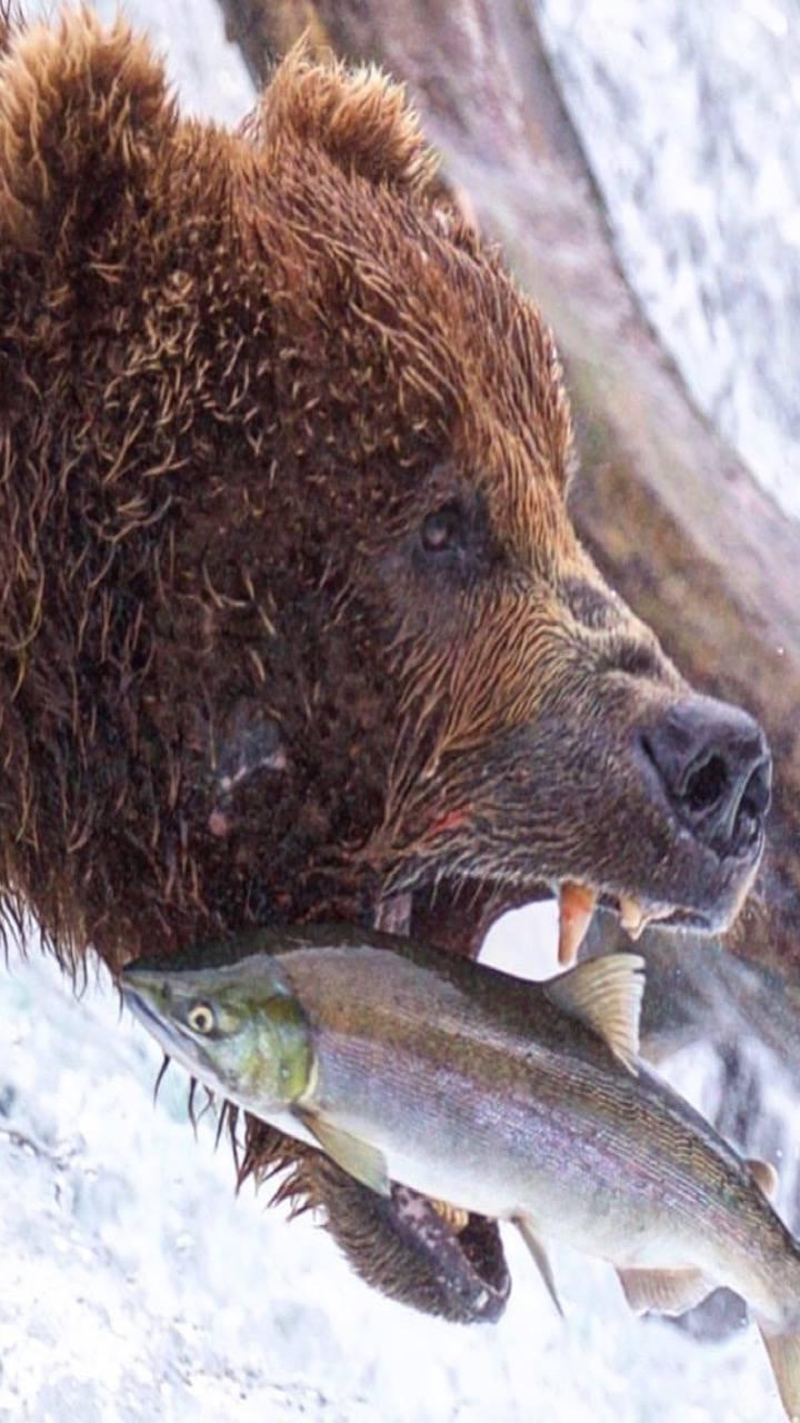 Bear and fish