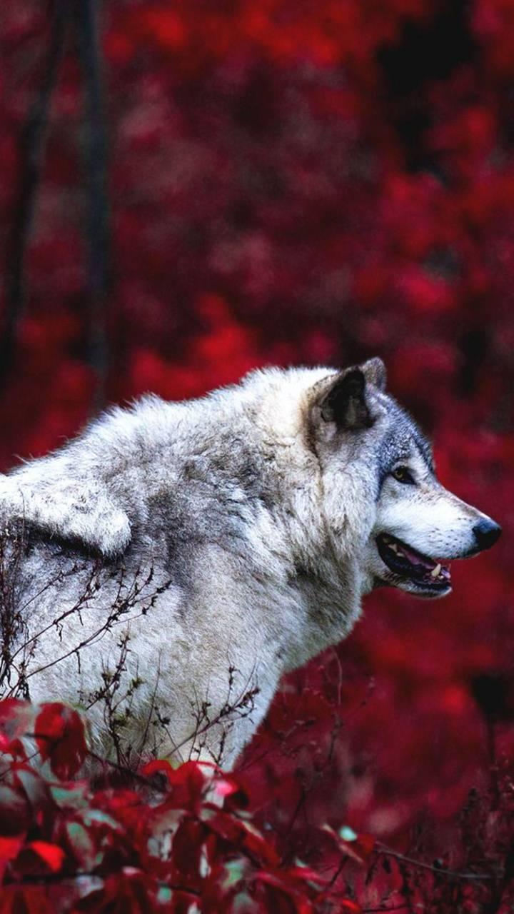 Nice wolf