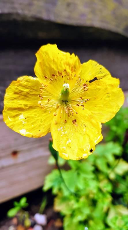Sham poppy flower
