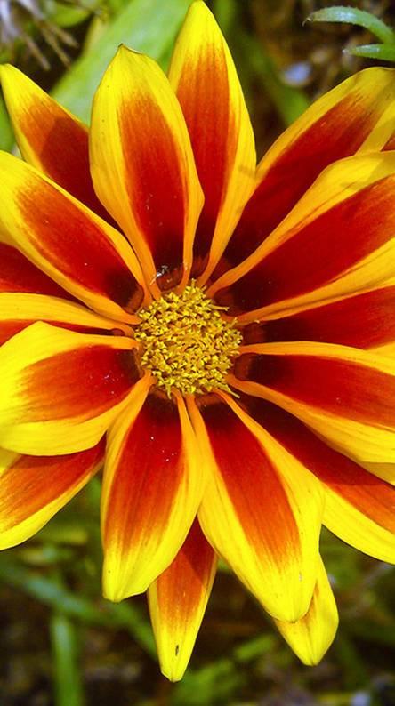 Xperia Z Flower