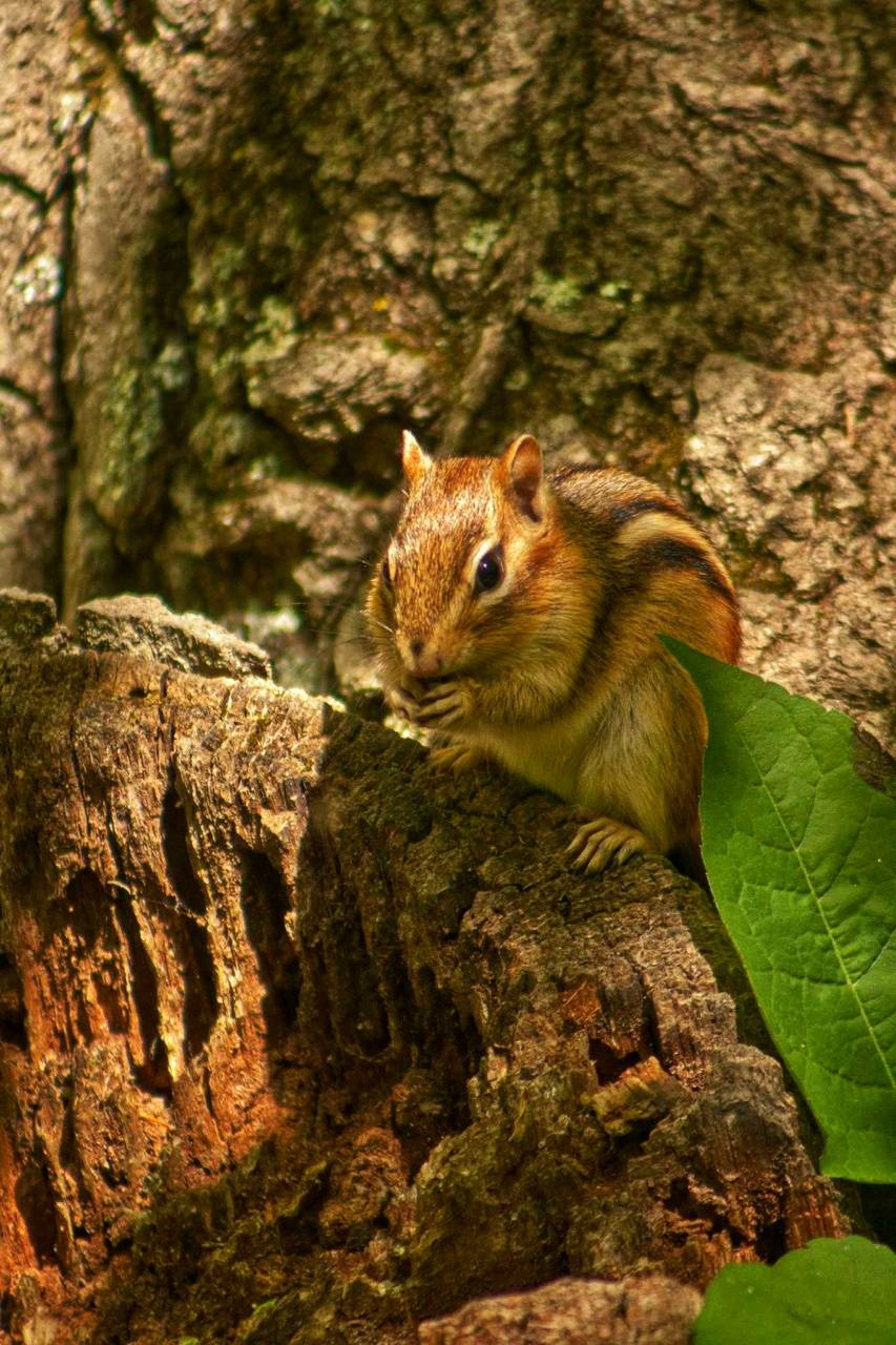 Chipmunk forest