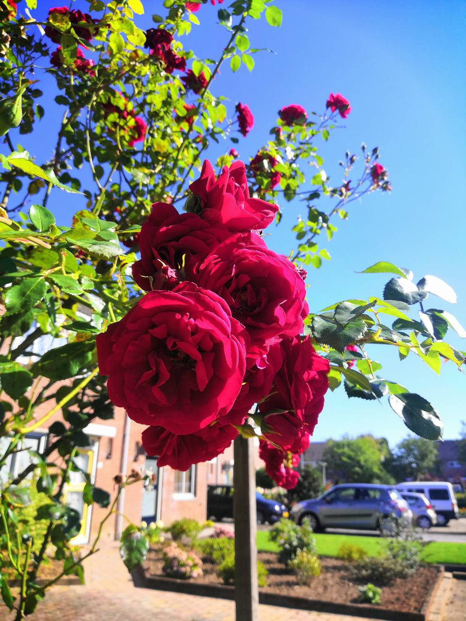 Rose in the summer