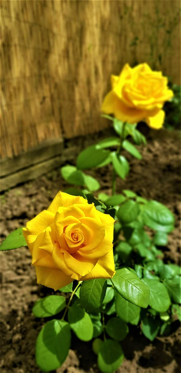 Yellow Rosebush