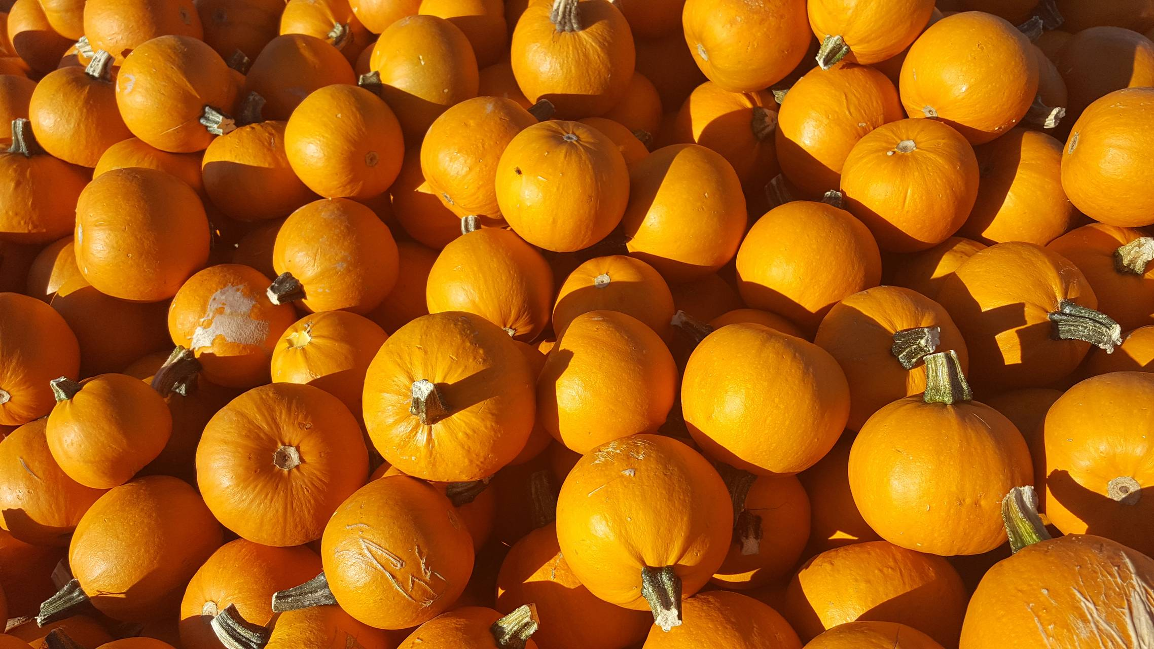 Pumpkin Patch Orange