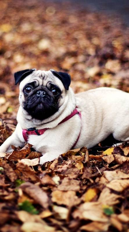 Pug Dog Wallpapers Free By Zedge