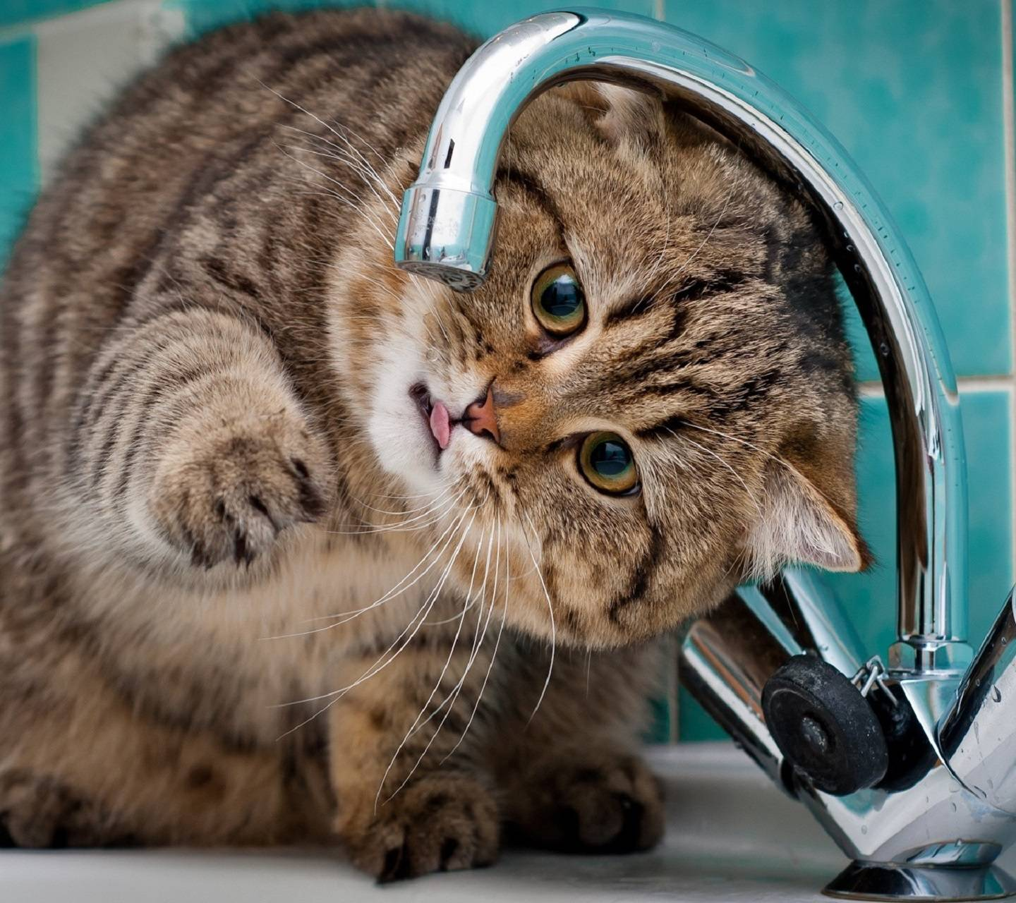 Cat Want Water