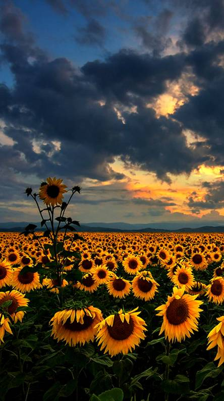 sunflower ringtones and wallpapers