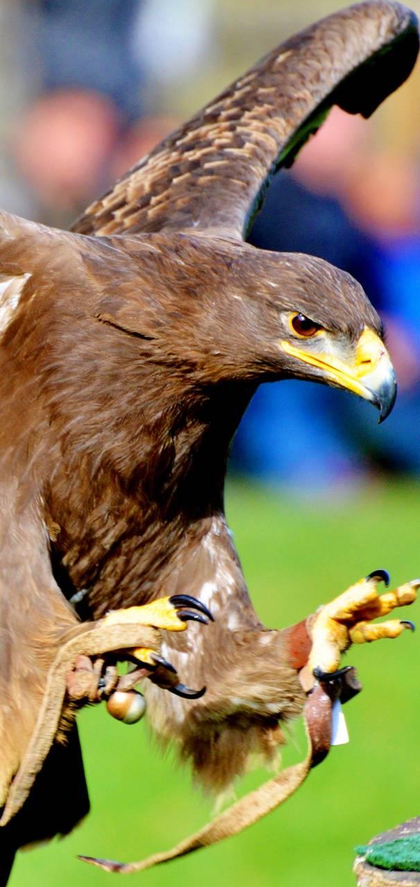 Eagle Brown 12