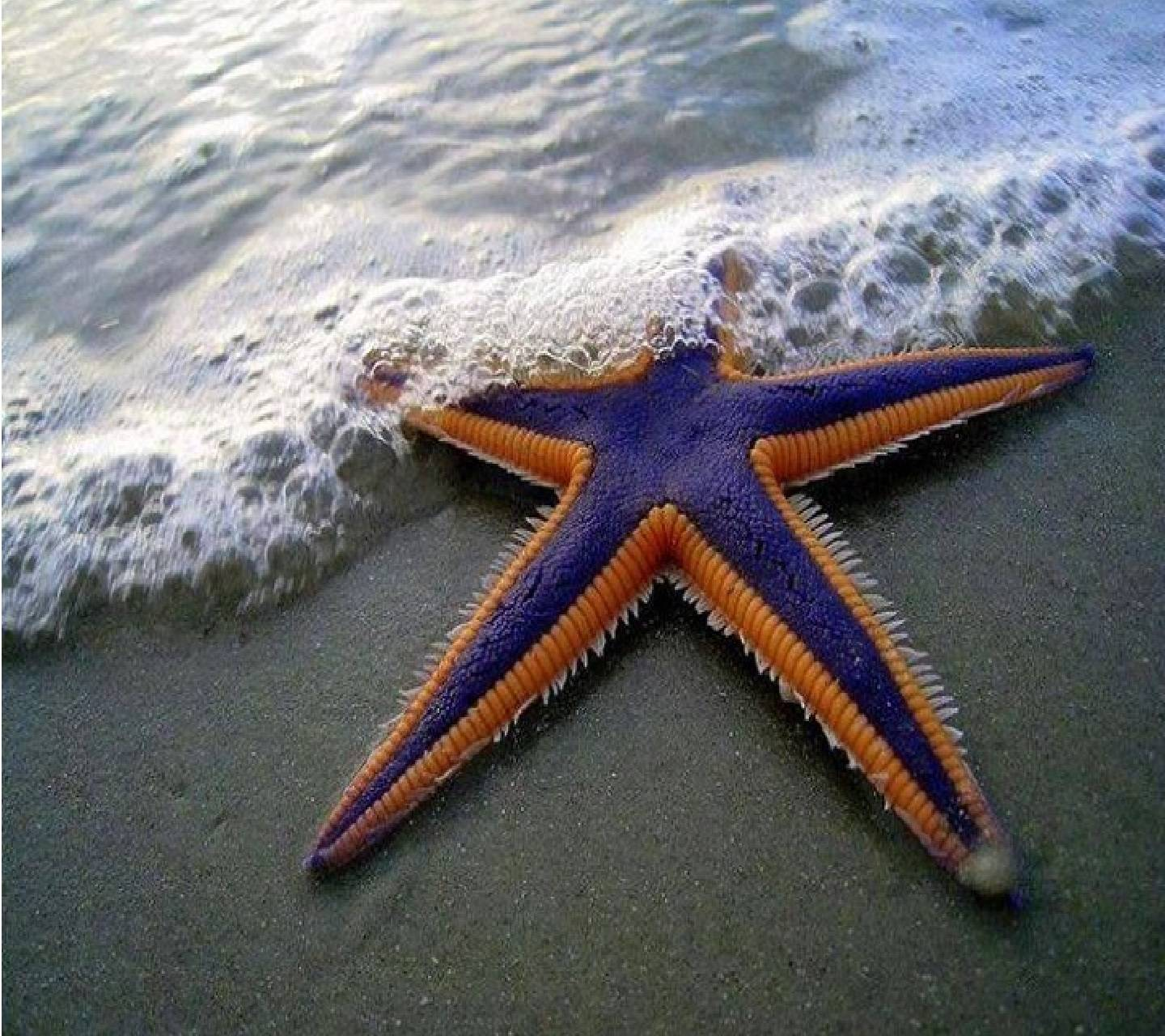 Gaint BLue StarFish