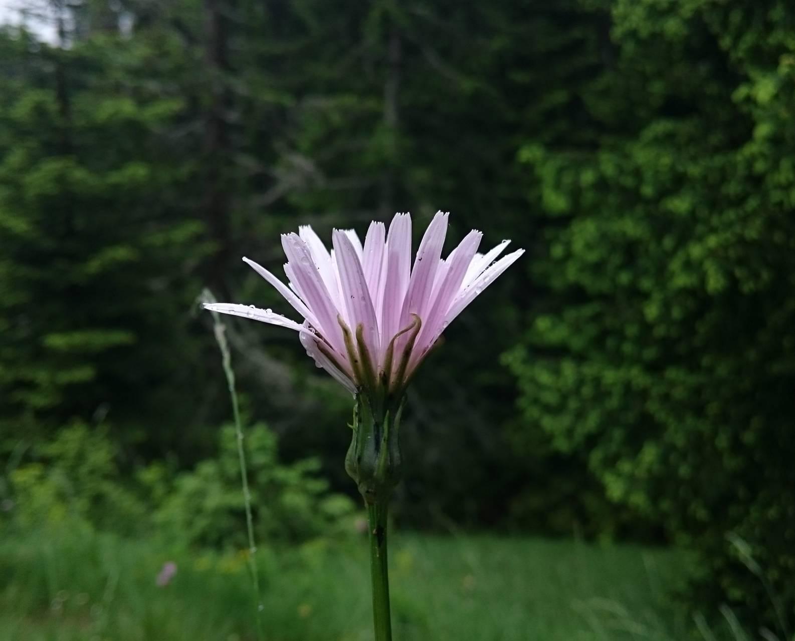 Pink-white flower