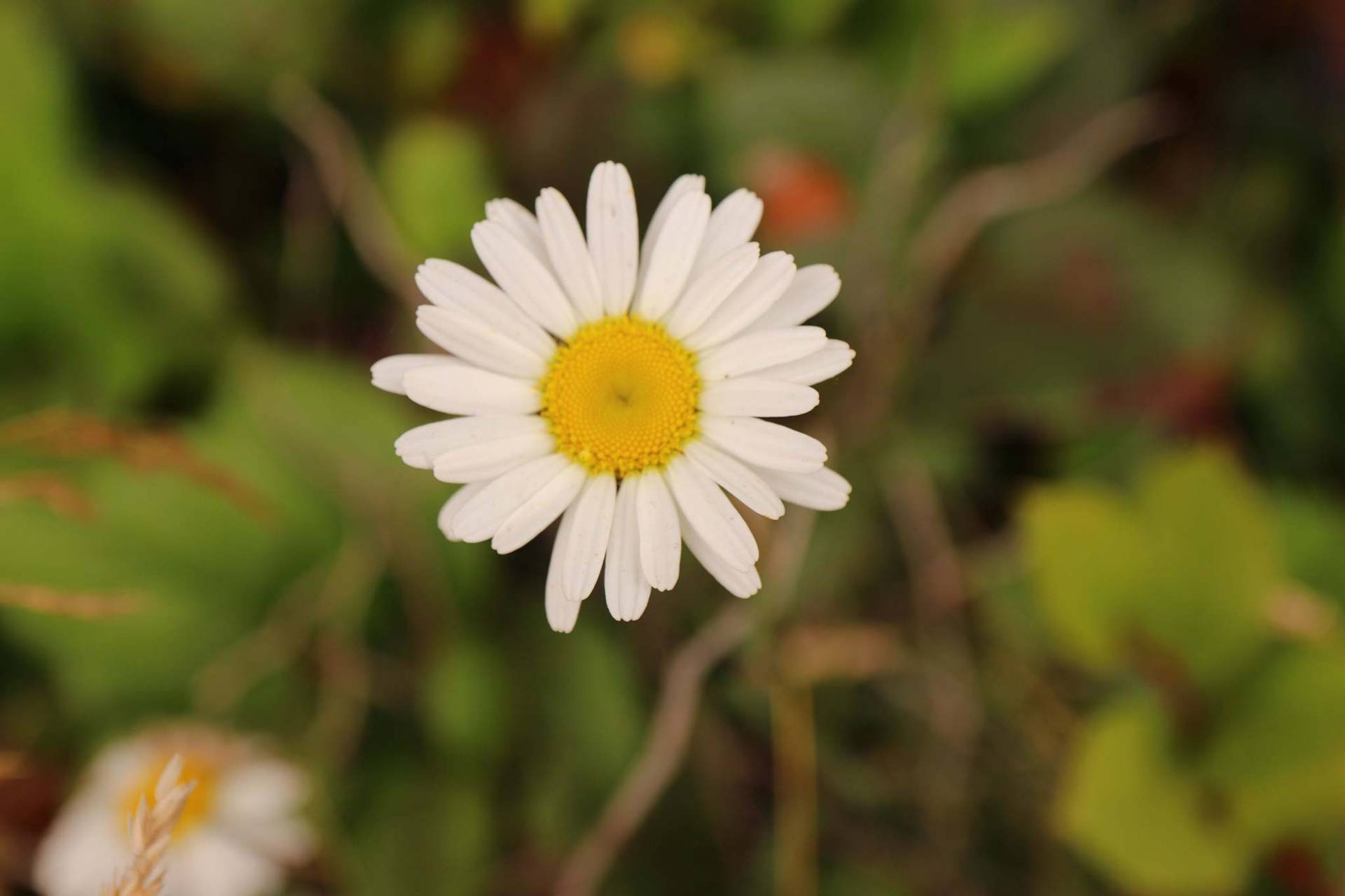 Daisy Daze