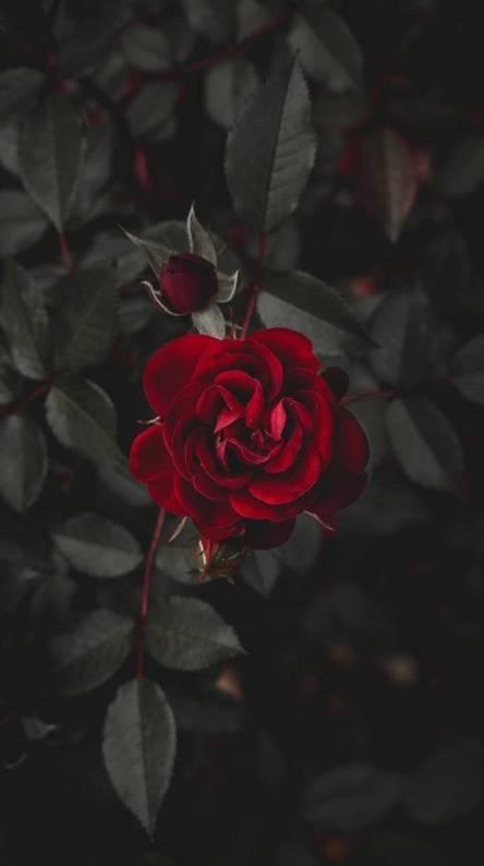 Download Wallpaper Dark Rose Hd Cikimmcom
