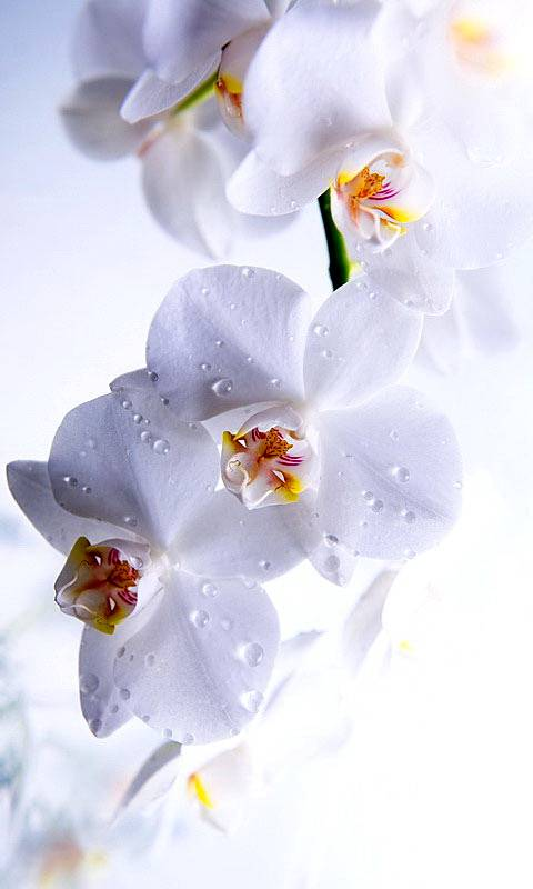 White Flowers Wallpaper Backgrounds