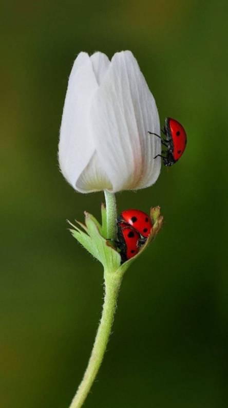 Tulip And Ladybugs