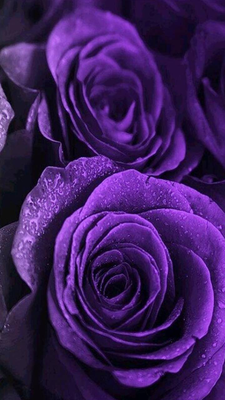 Purple Roses wallpaper by PerfumeVanilla - 6d - Free on ZEDGE™