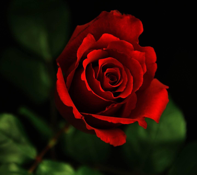 Red Rose Hd