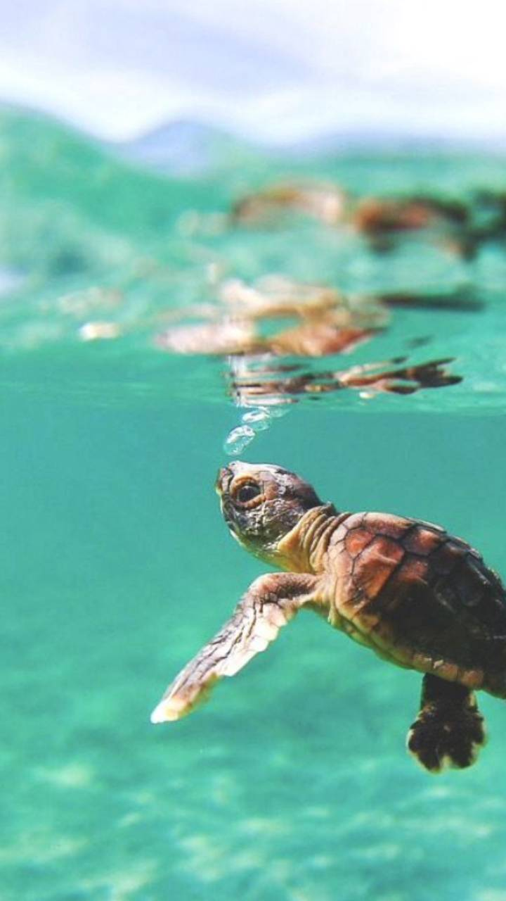 Baby turtle wallpaper by