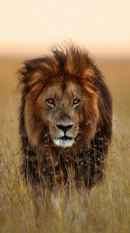 4 X 4 >> Lion Ringtones and Wallpapers - Free by ZEDGE™