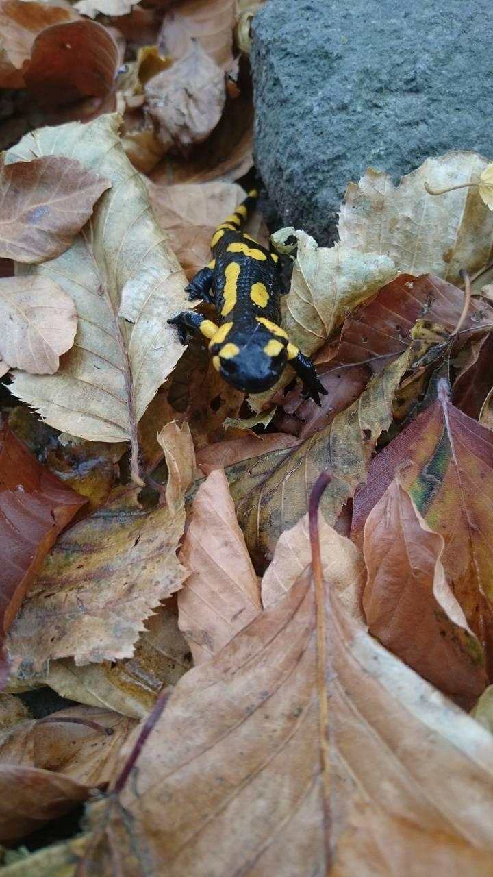 Autumn salamandra