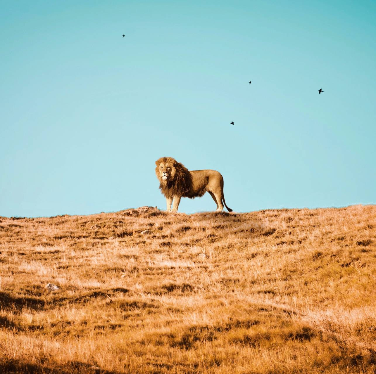 Lion on the hill