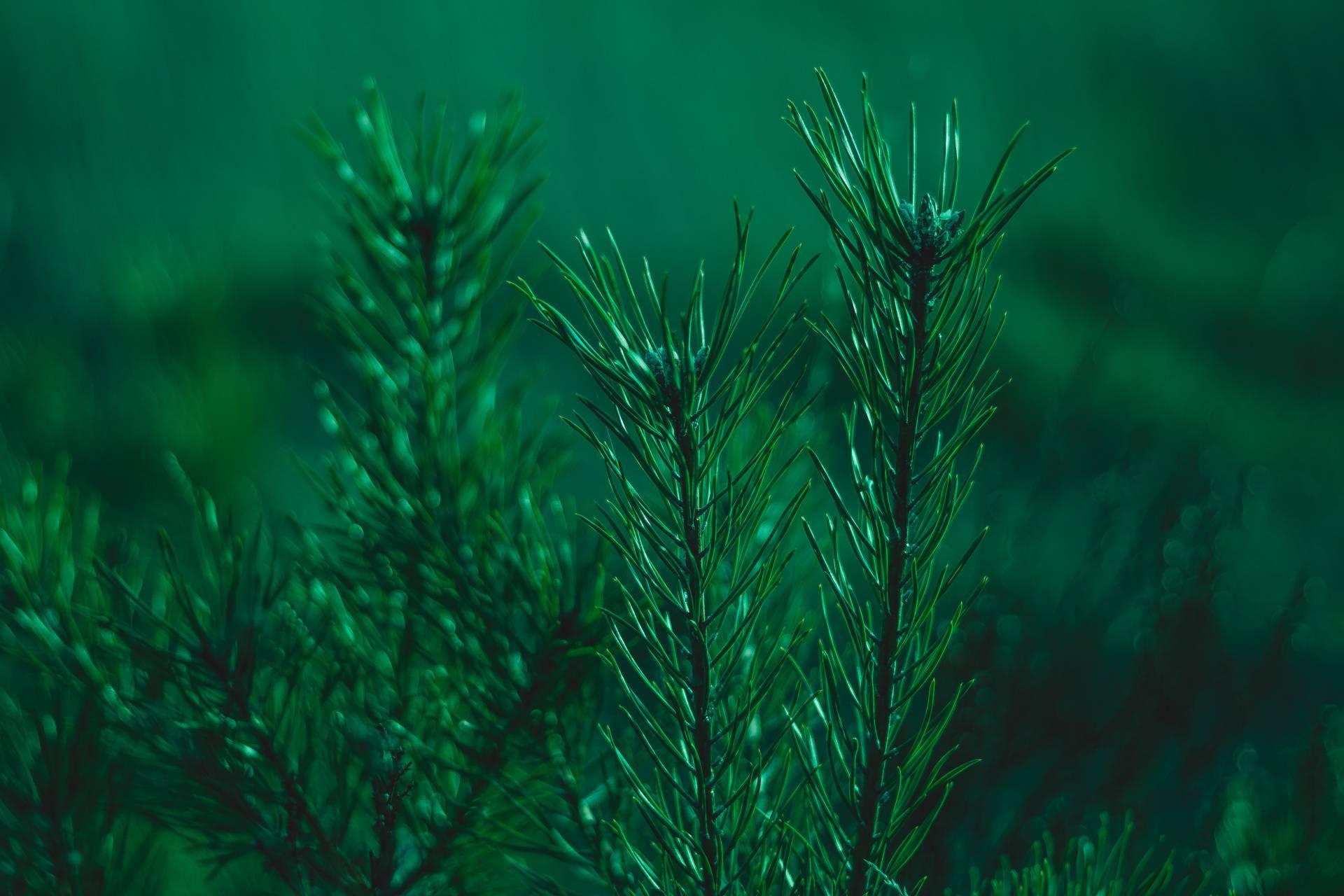 Green needles leaves