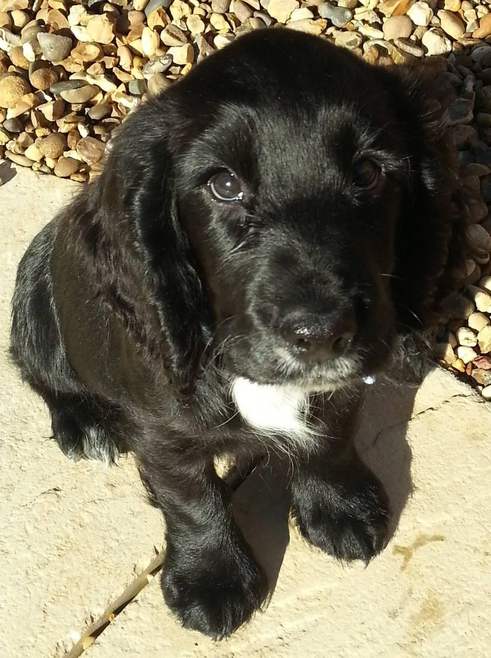 puppy spaniel 2