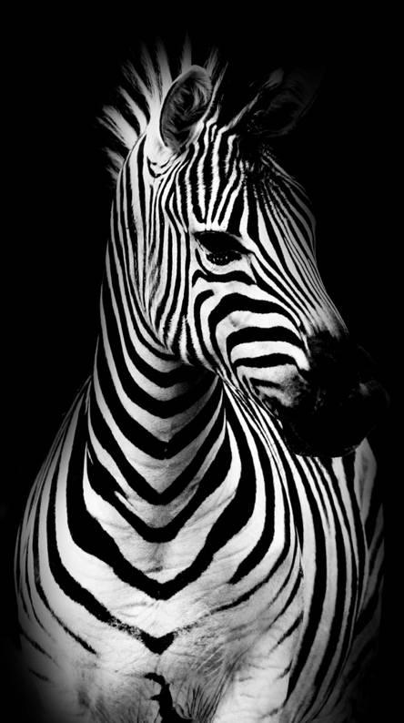 Zebra Wallpapers Free By Zedge