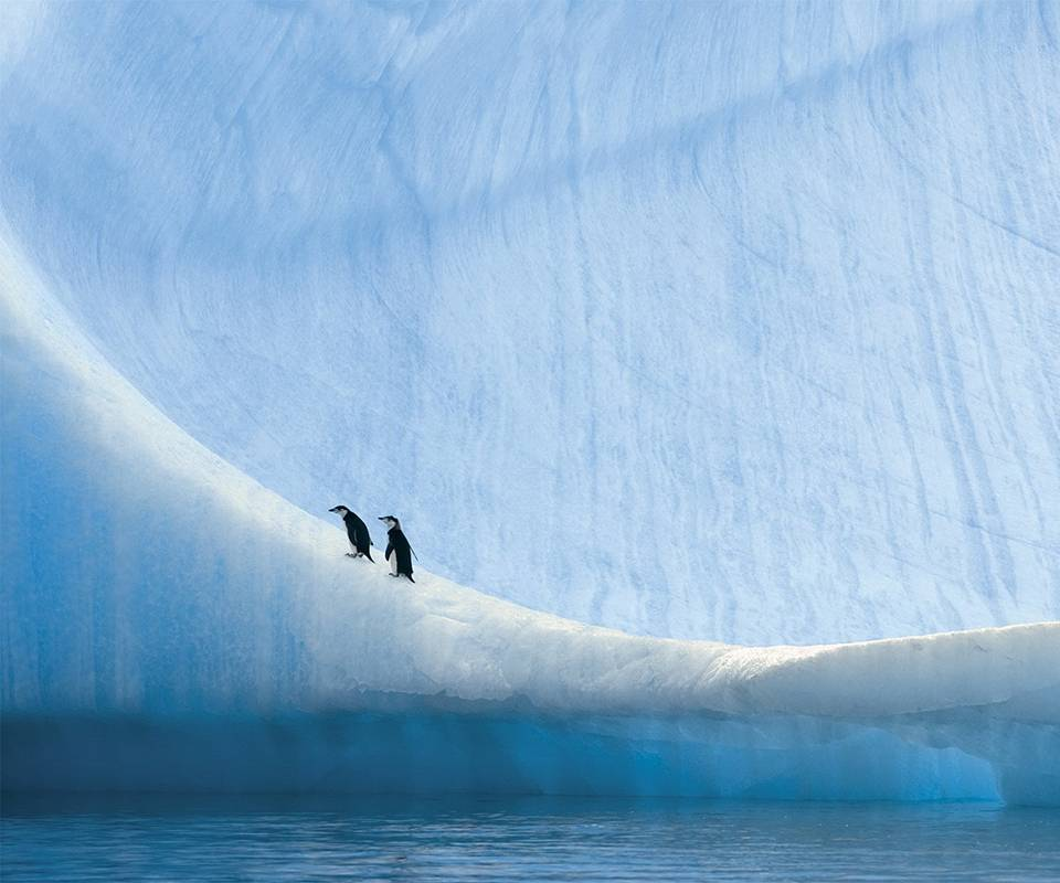 King Penguins On Ice