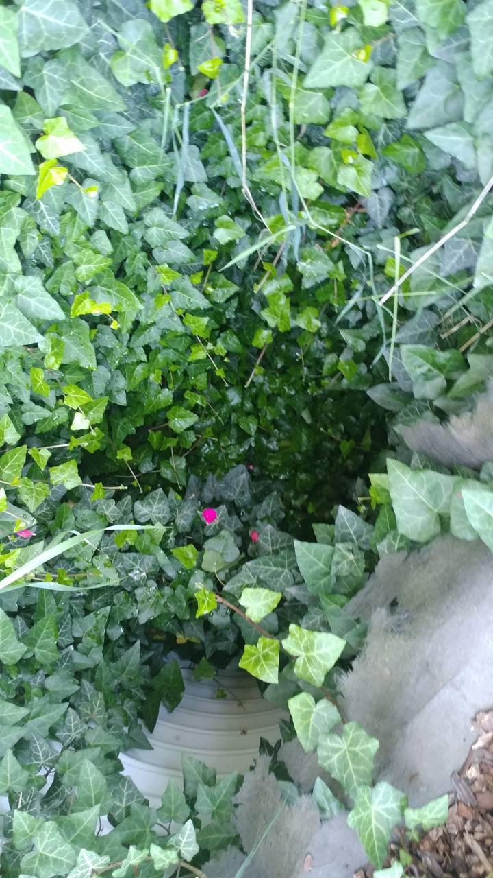 Ivy hole