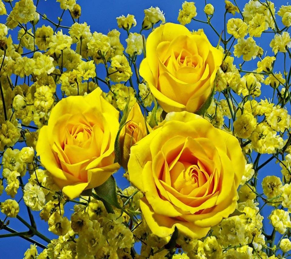 Closeup Yellow Roses