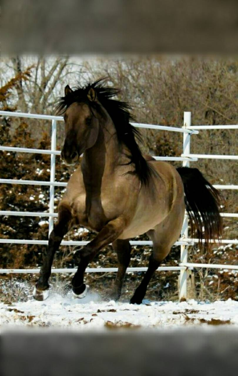 Grulla Horse in Snow