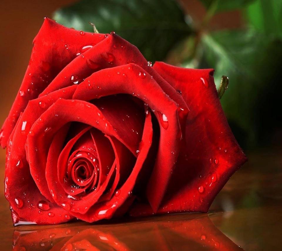 Flower Rose Close