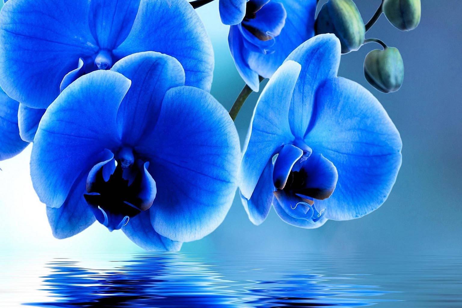 Орхидея обои на телефон синяя