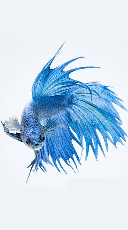 Betta Fish Wallpapers Free By Zedge