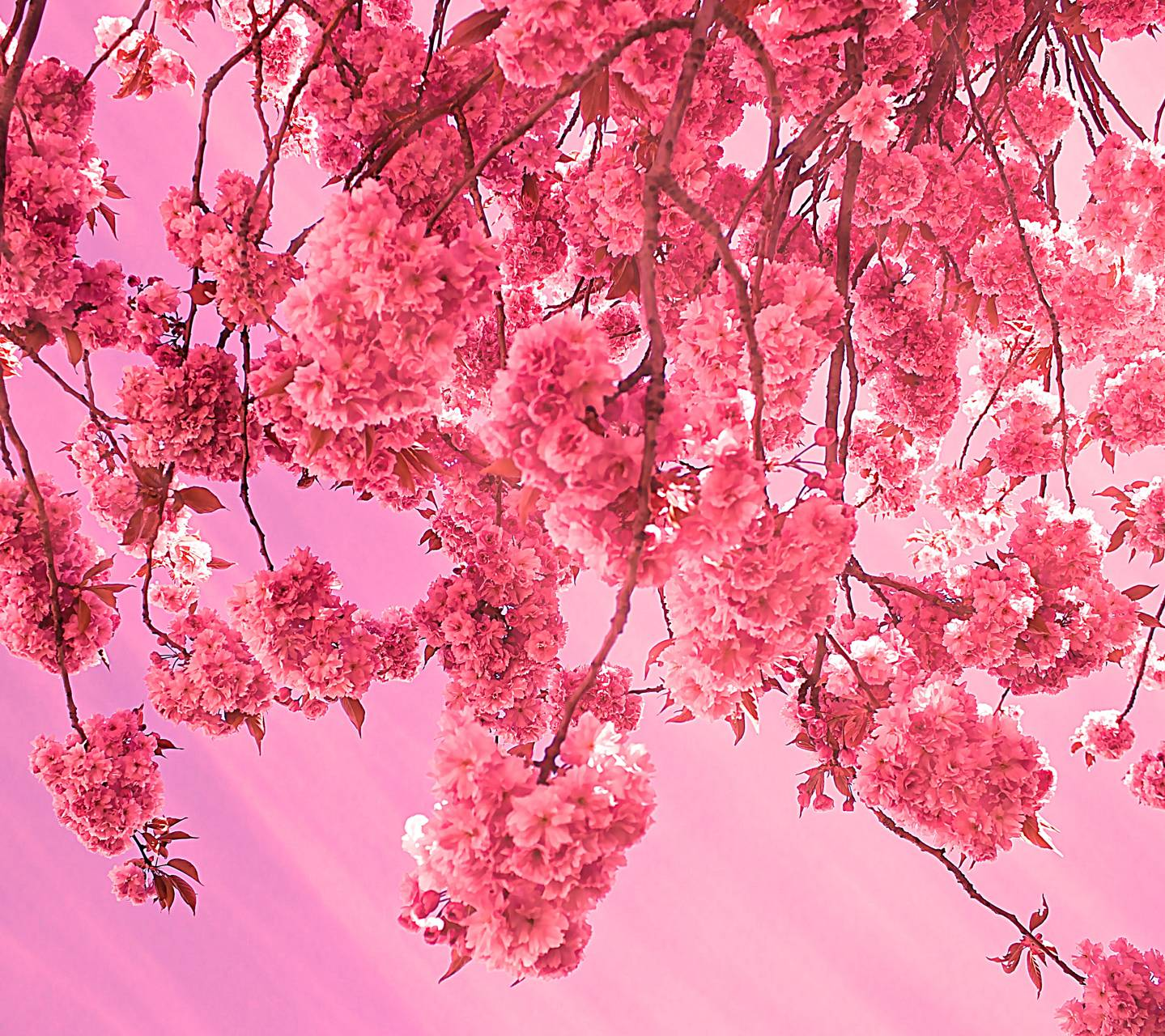 Pinkie Flowers